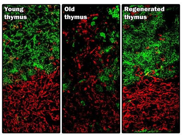 Впервые в мире проведена прямая регенерация живого органа Команда учёных из Университета Эдинбурга сумела восстановить тимус старой мыши – и это первый в мире случай регенерации живого органа. Тимус расположен рядом с сердцем и продуцирует важные иммунные клетки. После лечения регенерированный орган приобрёл структуру, идентичную органу молодой мыши. Этот научный прорыв может проложить дорогу новому методу терапии для людей с повреждённой иммунной системой, и генетическими заболеваниями,…