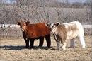 На ферме Lautner farms в штате Айова разводят пушистую породу коров