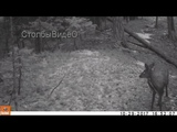 Соболь охотится на кабаргу | кафедра охотоведения | охотовед.pw