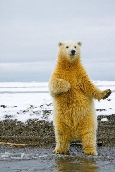Просмотров: 27.  Фото приколы Полярный. медведь танцует макарену.