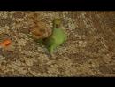 Ожереловый попугайчик Мика, возраст 7 месяцев.Взрослеем