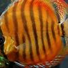 Аквариумы,сопутствующие товары,аквариумные рыбки