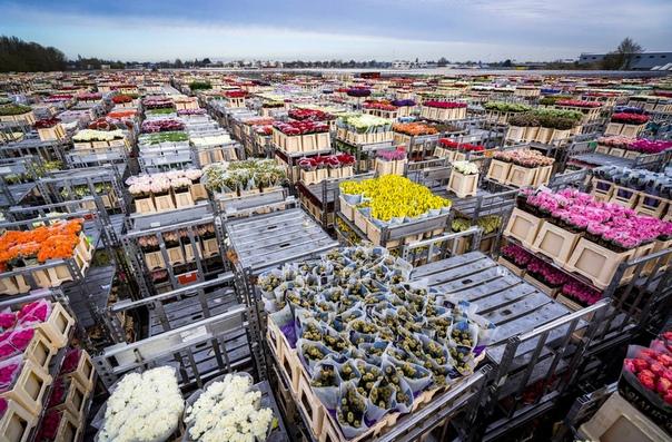 Цветы, нераспроданные на аукционе, готовы к утилизации. Алсмер, Нидерланды.