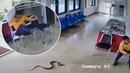 Змея попыталась укусить тайца