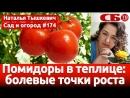 Выращивание помидоров в теплице – секреты хорошего урожая