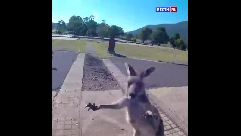 Кенгуру атаковал парапланериста в Австралии