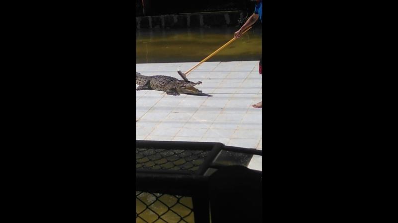 Шоу крокодилов...