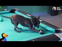 Dog is Best Pool Player in the Family | The Dodo