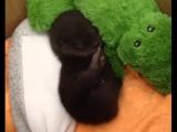 Малыш выдры засыпает и это так мило!