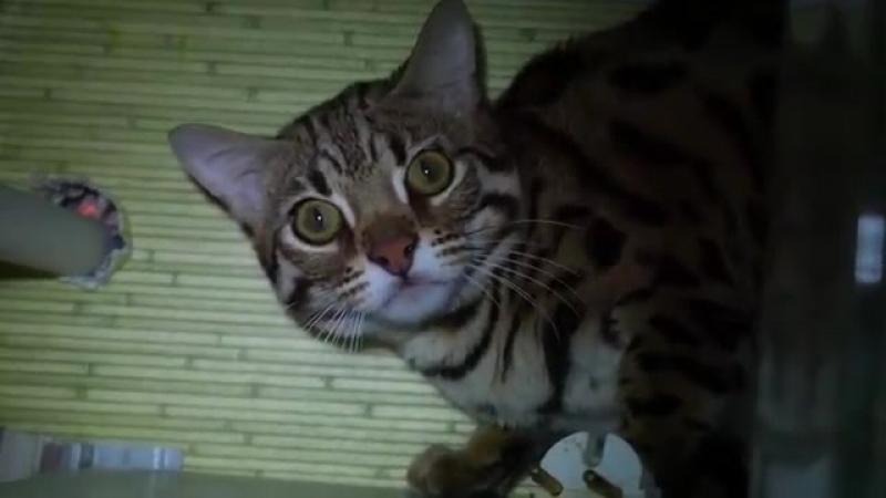 Бенгальский кот Гуся привык к котам и к новой обстановке)) почти-spyan--scscscrp