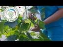 Выращивание огурцов в теплице. Прищипывание огурца после формирования главного стебля.