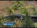 В Калининградской области впервые заложили кедровый питомник