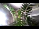 Финиковая канарская пальма купить за 4500р. 89046415533