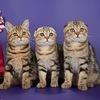 Питомник VaLena Pride (Шотландские кошки)