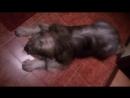 Пёс Тотоша собственной персоной сонной