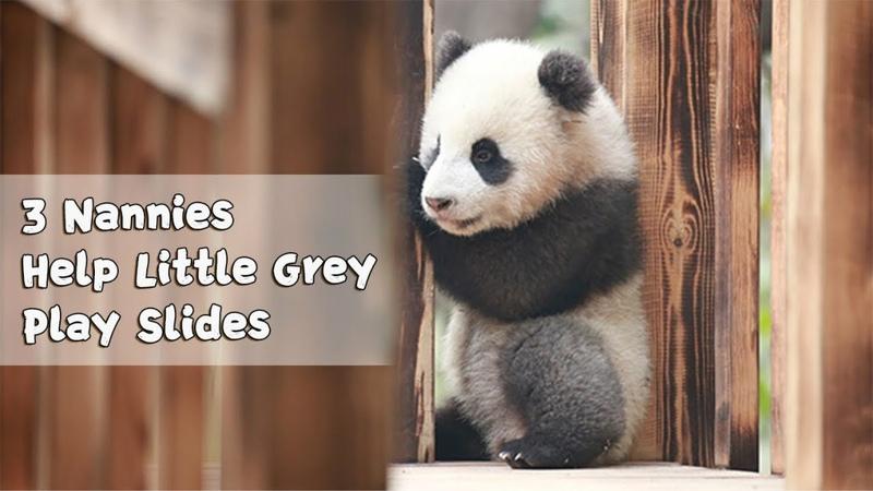 3 Nannies Together Teach Panda Little Grey Play Slides iPanda