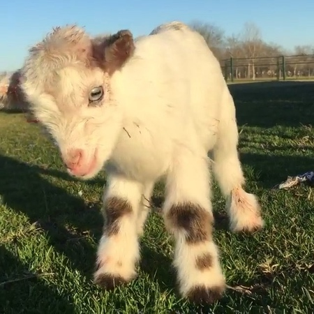 """Nature on Instagram """"Follow @nature Baby Goat, how cute! 😍🐐 Rate 1-10 Video by @the_gaysian_cowboy nature"""""""