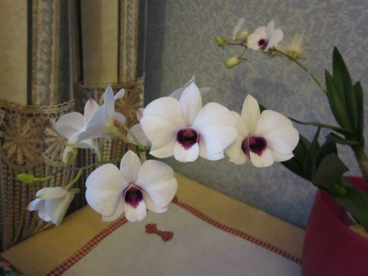 цветы, мои домашние цветы, орхидеи