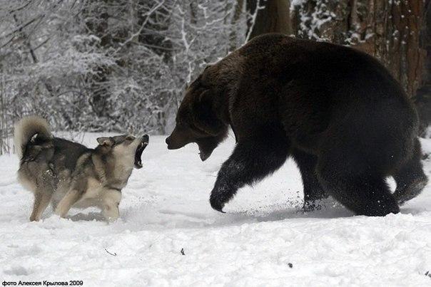 От хорошей собаки зверь не убежит.