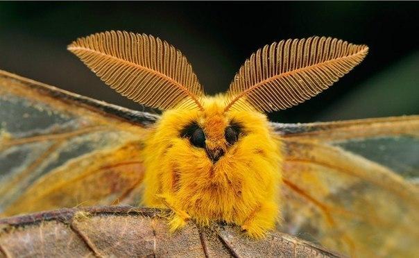 Так выглядит мотылек шелкопряда. Милашка, правда?