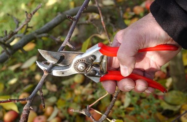 Особенности обрезки груши. Вырастить грушу, которая регулярна будет давать высокий урожай можно только при грамотном удалении веток. Неправильно оформленные срезы могут только навредить дереву.