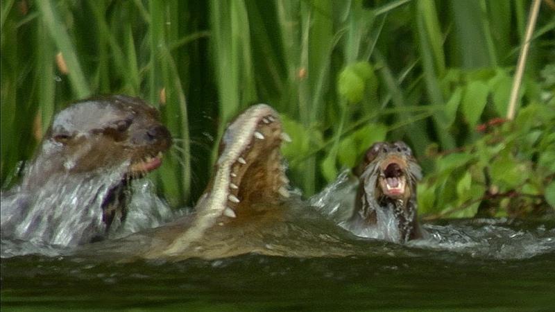 Otter Family Kills Caiman | BBC Earth