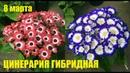Выращивание цветов к 8 марта. Цинерария гибридная.