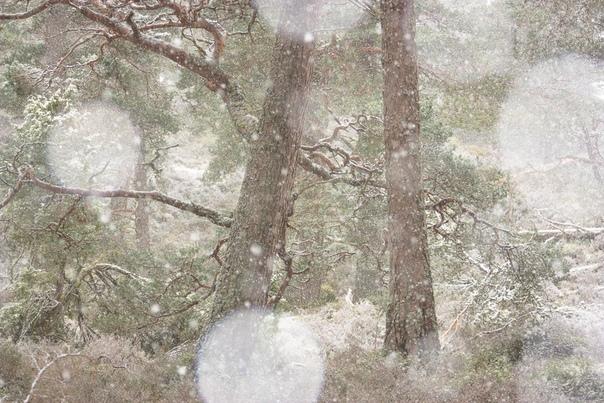Зима уже здесь (Природный заповедник Инверешье и Иншриах, плато Кайрнгорм на Шотландском нагорье.)Фото: Дорин