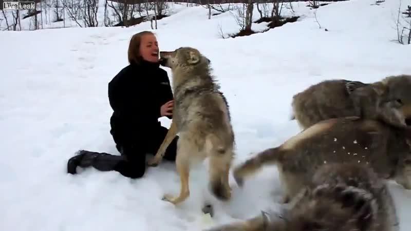 Девушка вырастила волчат и их встреча через 4 года