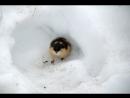 оркестр фишера _лемминги под снегом