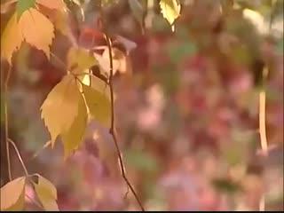 Девичий виноград на садовом участке -Дачники