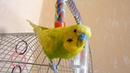 ВЕСЕЛЫЙ ВОЛНИСТЫЙ ПОПУГАЙ ТОША НА СВОБОДЕ ▶️ ЛИНЬКА У ПОПУГАЯ ▶️ зеленый попугайчик TV