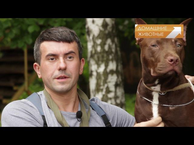 Гладиаторы собачьего мира: Американский пит-бультерьер