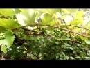 виноград во Владимире