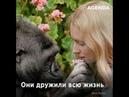 Коко горилла вундеркинд