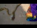 Large cobra regurgitates another cobra