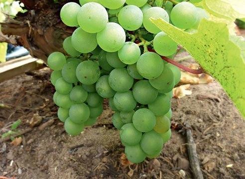 возьмите на заметку.пересадка винограда. часто возникают ситуации, когда взрослый куст винограда необходимо пересадить на новое место. ничего сложного и страшного в этой процедуре нет, главное