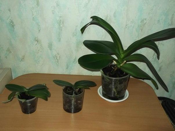 Орхидея мал