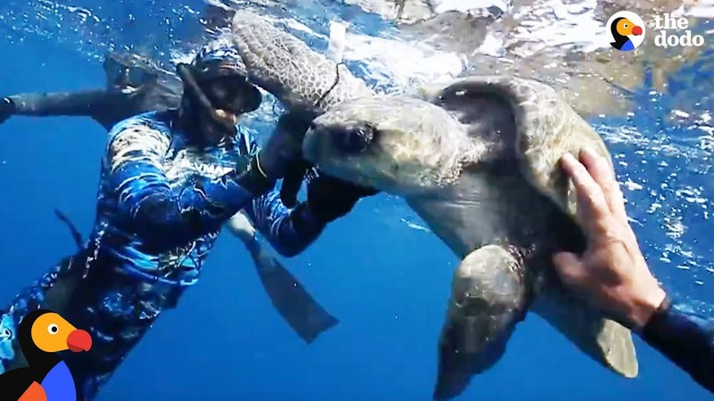 Sea Turtle Wrapped In Trash Freed by Divers | The Dodo - HAPPY WORLD TURTLE DAY