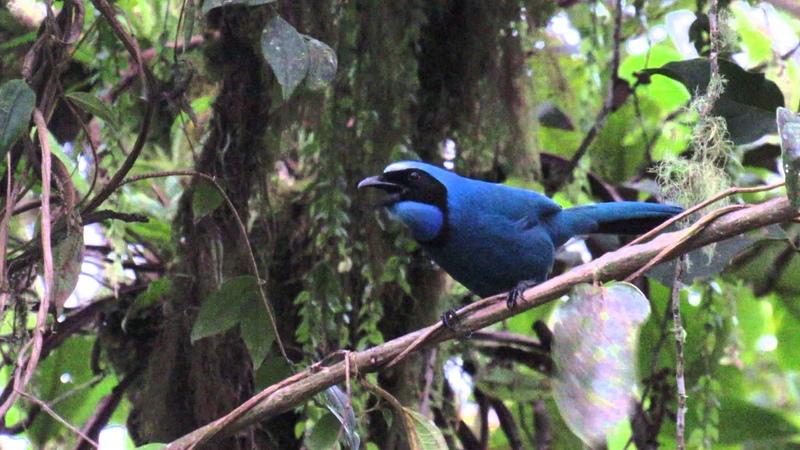 Turquoise jay / Cyanolyca turcosa