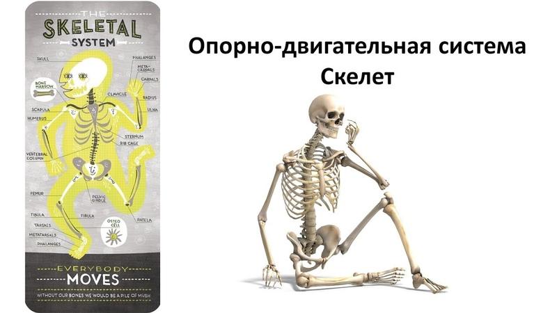 Опорно двигательная - скелет