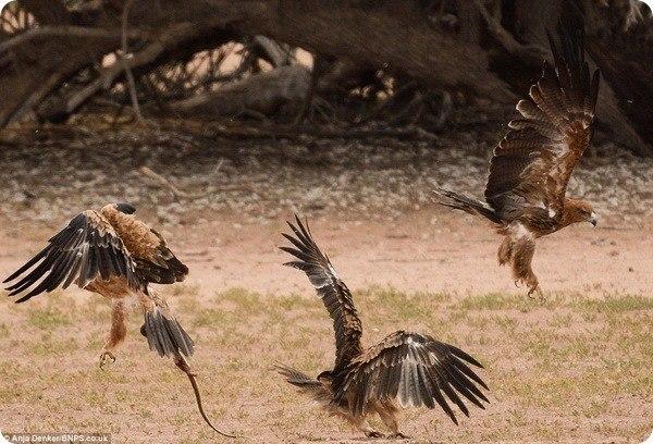 Три степных орла ведут борьбу за смертельную добычу, пойманную одним из своих собратьев себе на ужин. Этой добычей является капская, или желтая кобра, одна из... #zoopicture #Орел #Птицы