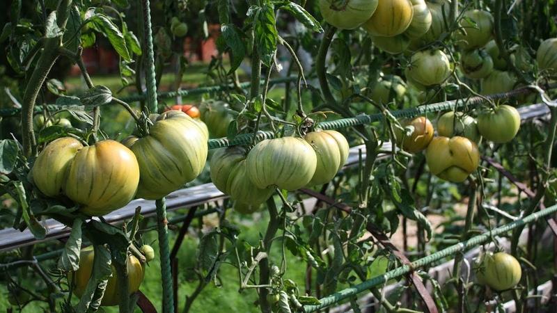 Шпаргалка № 7 Как обрабатывать томаты от болезней