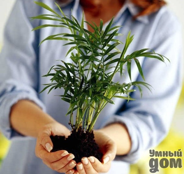 6 советов, как привлечь в дом счастье, любовь и достаток с помощью домашних растений Согласно правилам фэн-шуй, каждый цветок в доме сам по себе несет определенную энергетику, которая тем или иным образом влияет на вас. Считается, что лучше держать дома растения, тянущиеся вверх, тем самым активизируя позитивные силы. Положительную энергетику несут в себе различные виды цитрусовых, толстянка, фикус, цикламен, бегонии, альпийская фиалка, герань, камелия. Если в доме напряженная обстановка и…