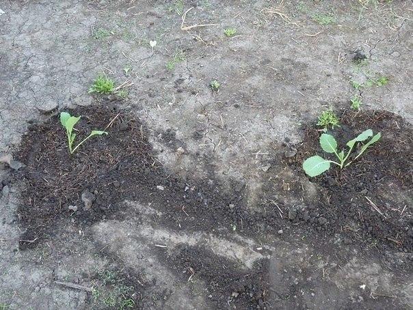 Капуста на дернине Один участок земли у нас никак не обрабатывался два года. И наши родители традиционники, ждали, когда же мы этот участок вскопаем, ведь без обработки почва сильно уплотнилась