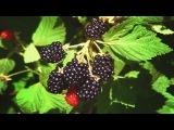 Ежевика сизая. Полезные свойства, листья, корни ежевики, лечение, рецепты народн ...