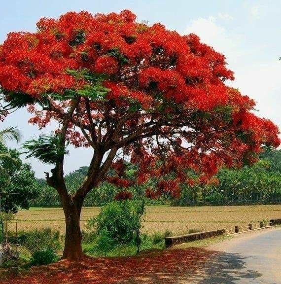 Королевский делоникс — природный шедевр Мадагаскара.