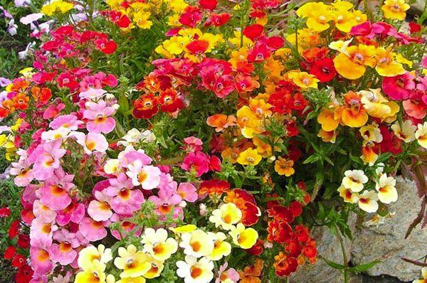 Почему немезия  это лучший цветок для «ленивых» садоводов»