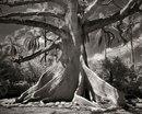 Девушка потратила 14 лет, фотографируя самые старые деревья планеты.
