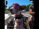 Собаки катаются на мотоцикле